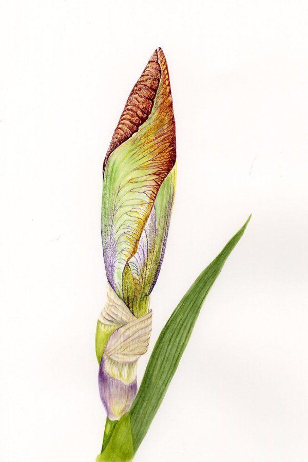 Iris bud 'Pride of Kent'