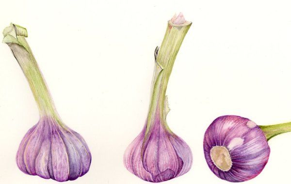 Garlic     SOLD