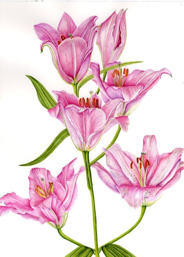 "Lilium ""Canaletto""    SOLD"