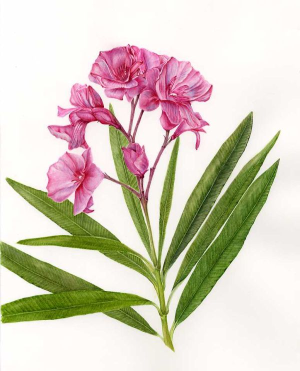 Nerium Oleander Gifted to NHS charity