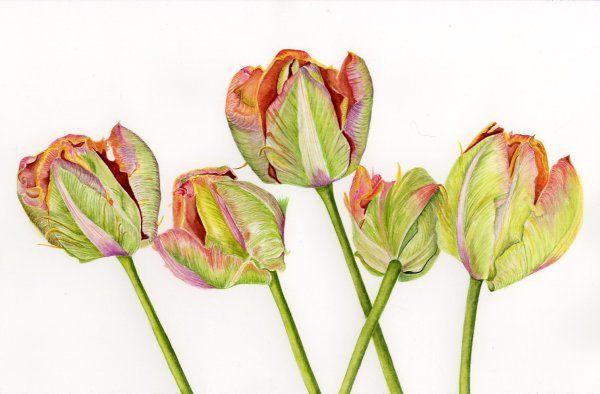 Five Parrot Tulips