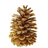 Pine Cone SOLD