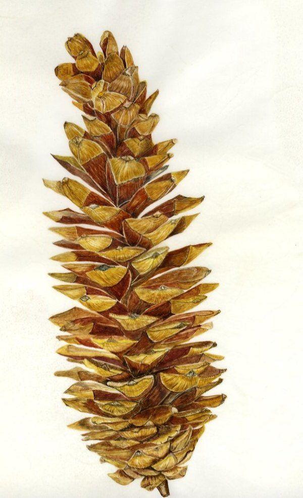 Pinus lambertiana - Sugar Pine Cone