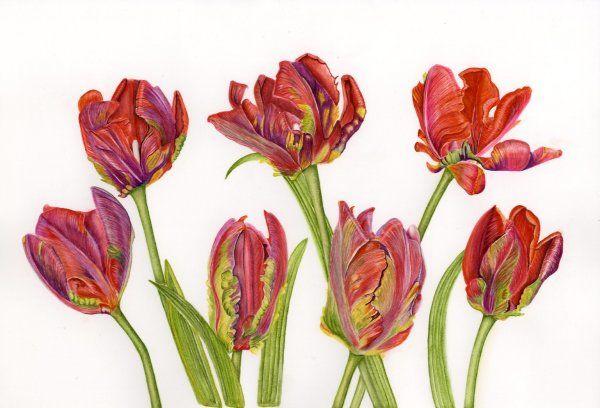 Tulip Rococco