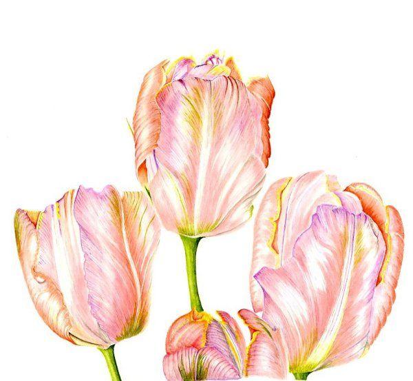 """Tulip """"Salmon Parrot"""""""