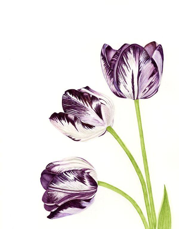 Tulipa Insulinde