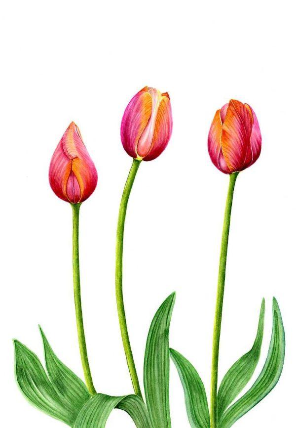 """Tulip """"Dordogne""""   SOLD"""