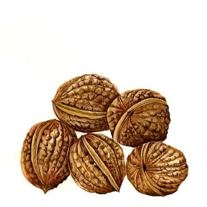 Walnuts   SOLD