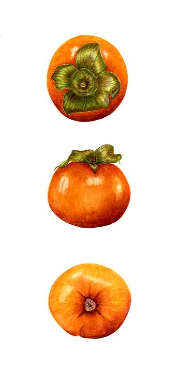 Persimmon  SOLD