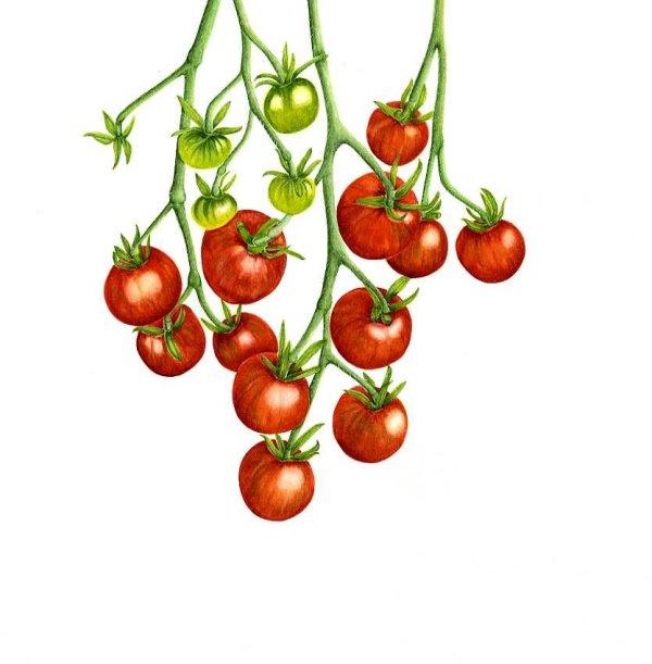 Hanging Tomato   SOLD