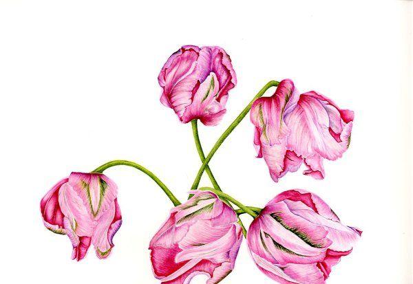 """Tulip """"Fantasy"""""""