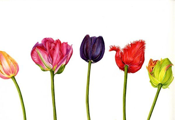 Tulips - A different Perspective   SOLD