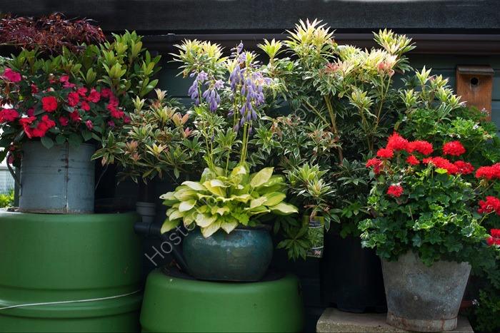 Flowers, Alric Allotments,  London