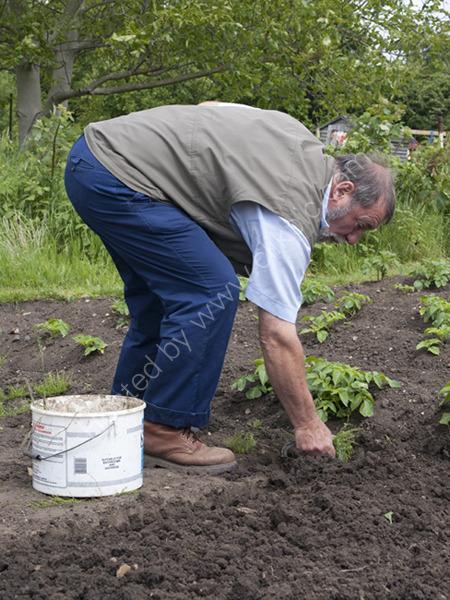 Planting Potatoes,  Alric Allotments,  London