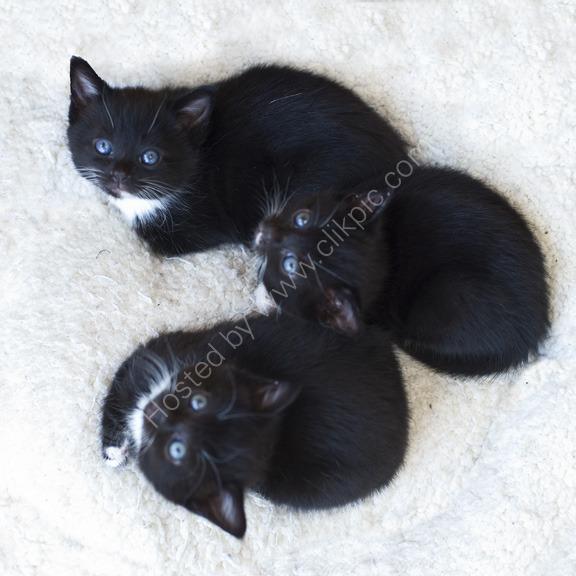 3 Little Black Kittens, London