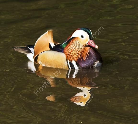 Strange Reflection, Mandarin Duck, Richmond Park, London