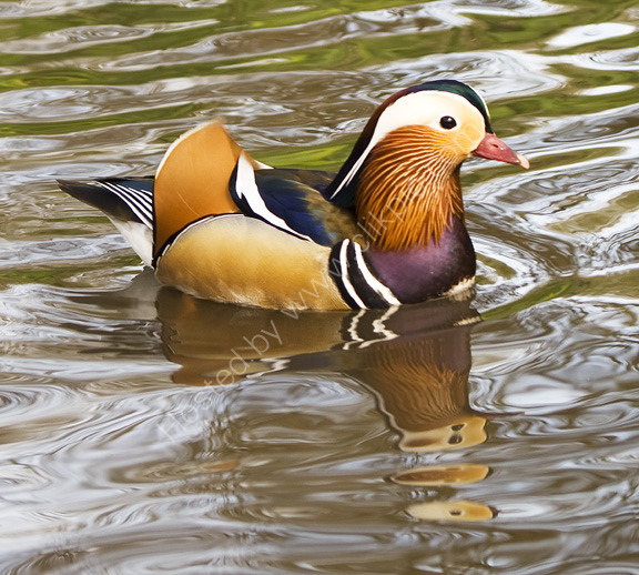 Mandarin Duck, Richmond Park, London