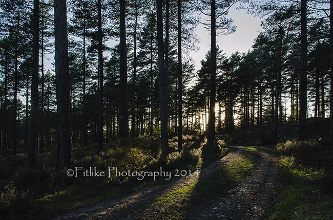 Culbin Tree Silhouette