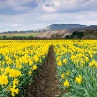 Daffodil Fields In Perthshire