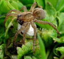 Araneae (spider)With Egg sack