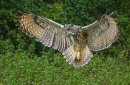Long Eared Owl Hunting