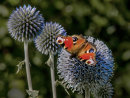 Peacock Butterfly on Echinops