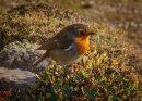 Robin - Erithacus Rebecular