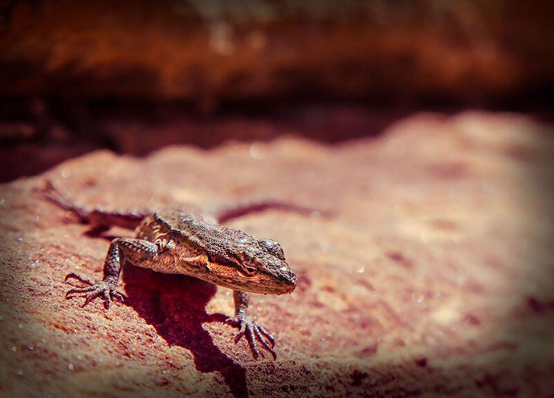 Big-Spring-Canyon-Overlook-lizard-