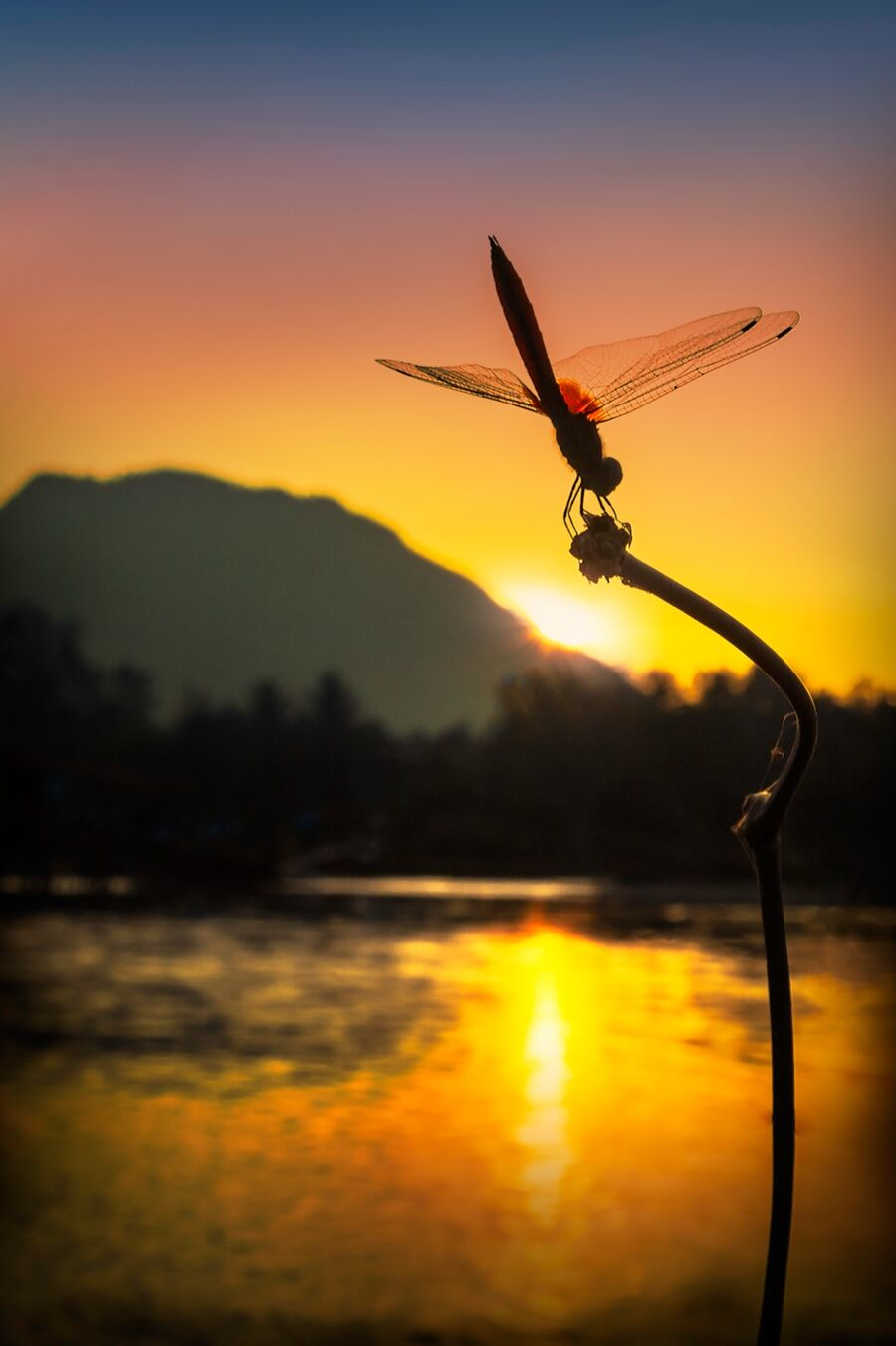 Dragonfly-sunset