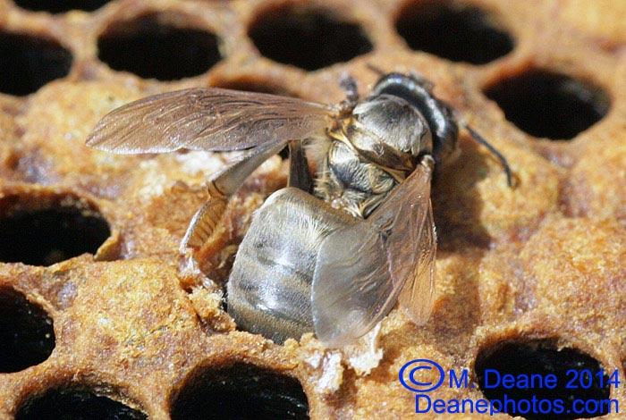 Worker bee hatching