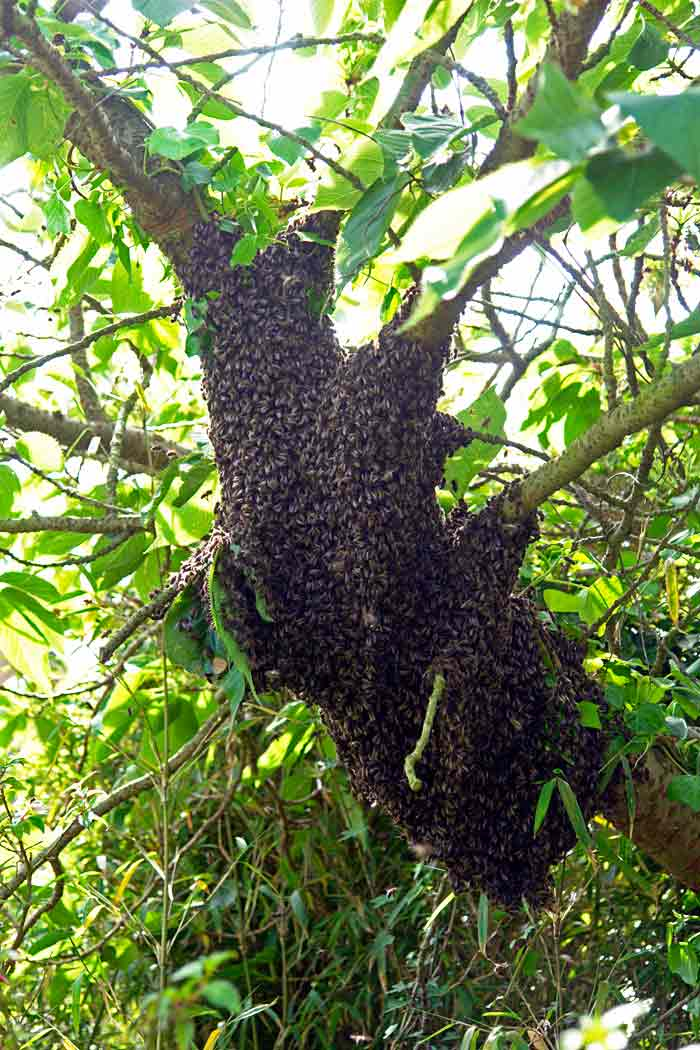 A swarm in a Cherry Tree