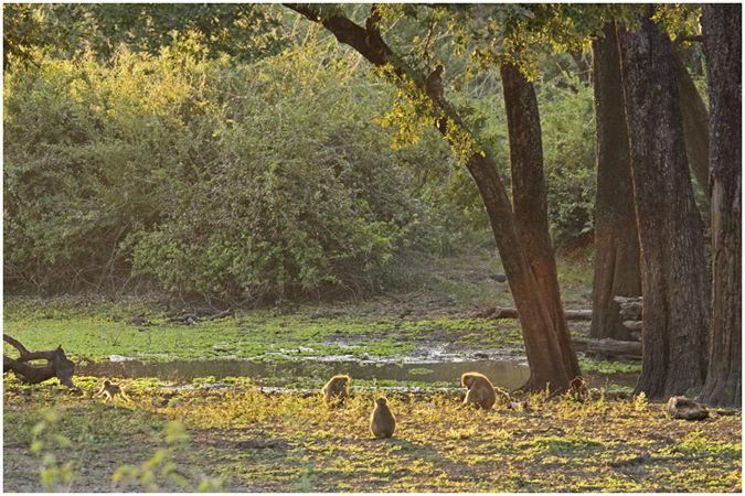 Baboons at the Ebony grove