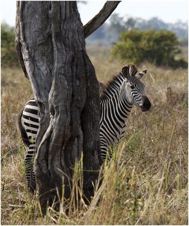 Zebra hiding