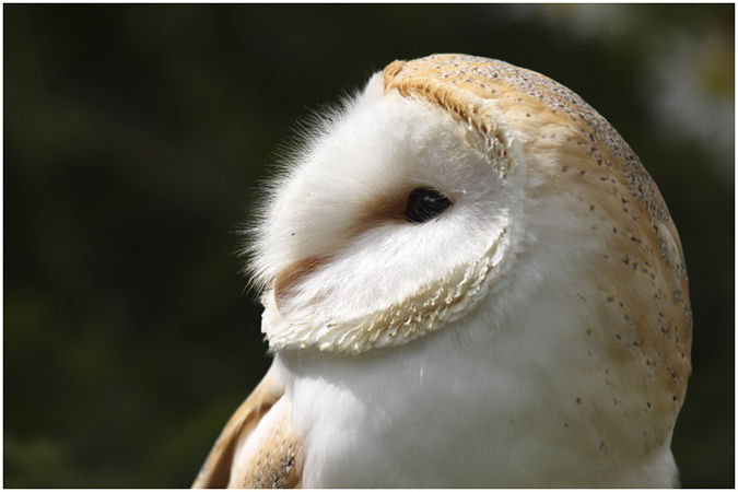 Pale breasted Barn Owl