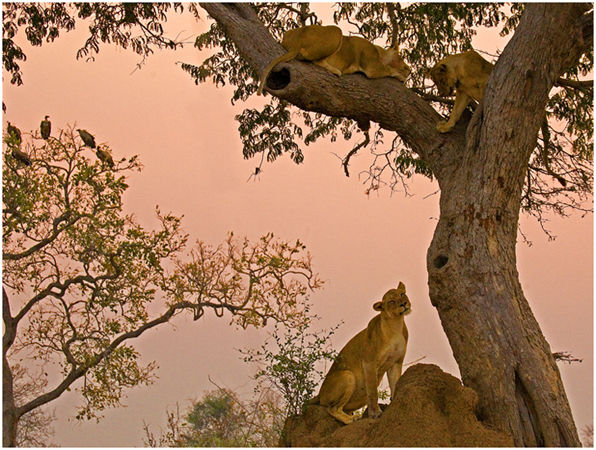 Lions and vultures at dusk