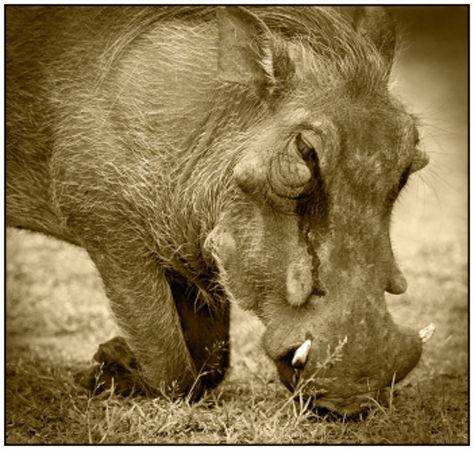 Warthog grazing
