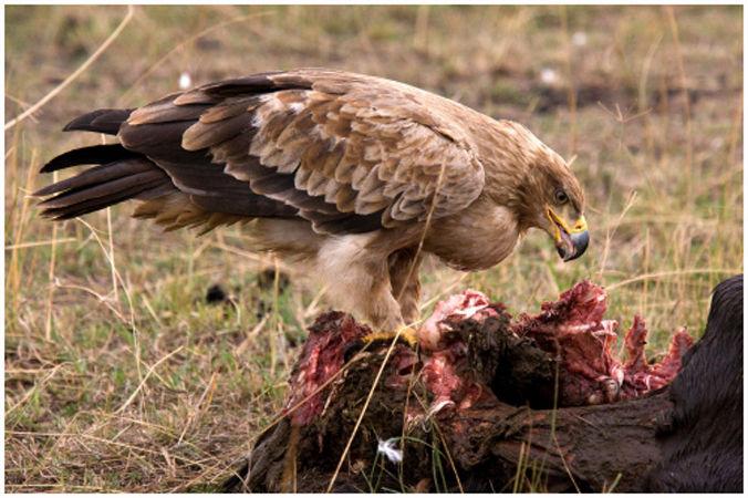 Eagle at a kill