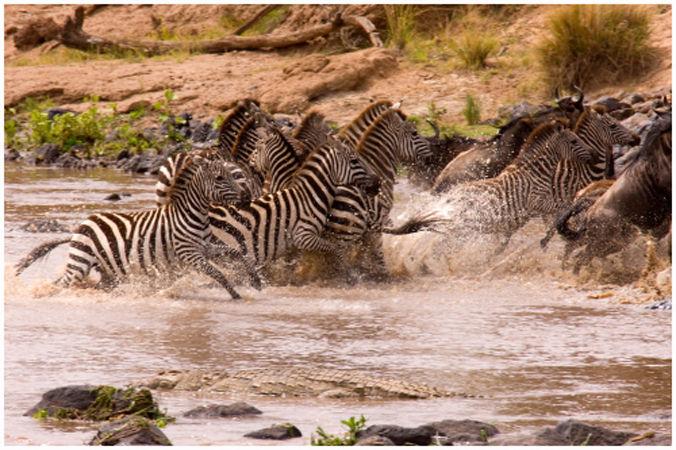 Zebra scare