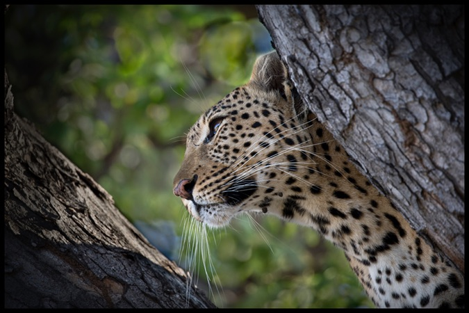 Young leopard in a favourite spot