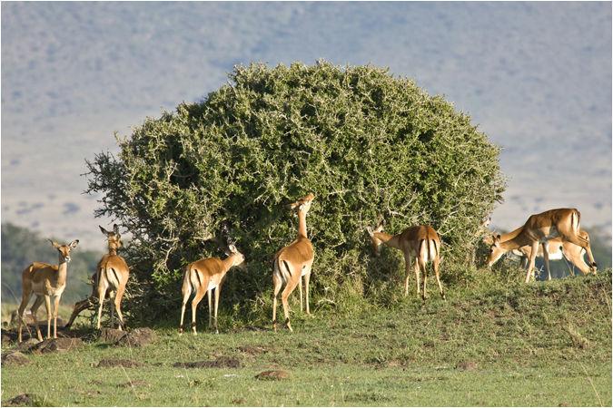 Impala taking breakfast