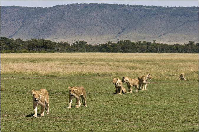 Lion pride at dawn