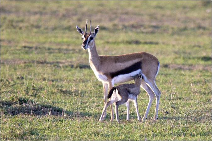 Gazelle suckling