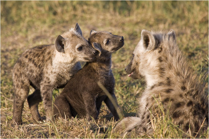 Young Hyena with parents