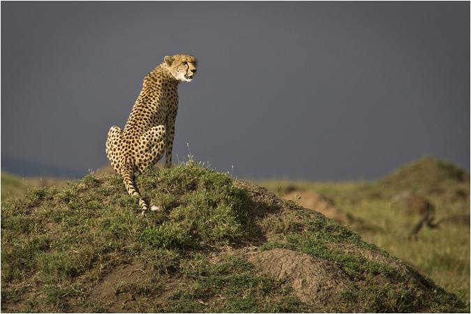 Cheetah at dusk