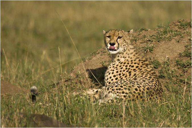Cheetah at dawn