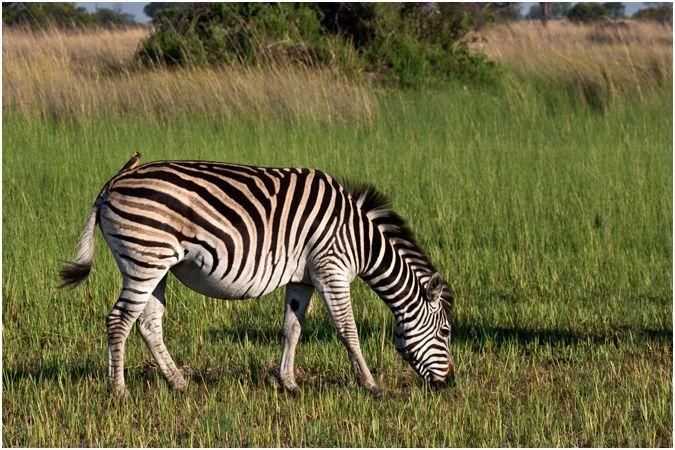 Pregnant Plains Zebra with oxpecker