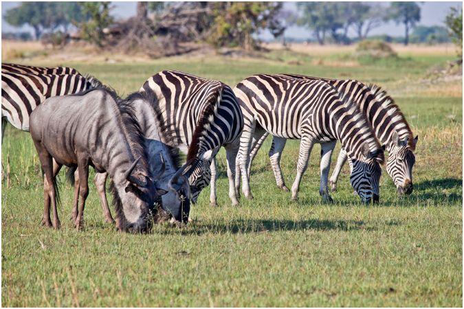 Zebra & Wildebeest grazing