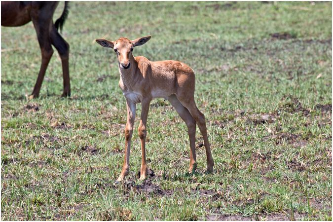 Young Red Lechwe Calf