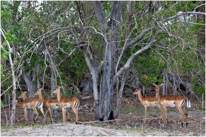 Impala Taking Shade