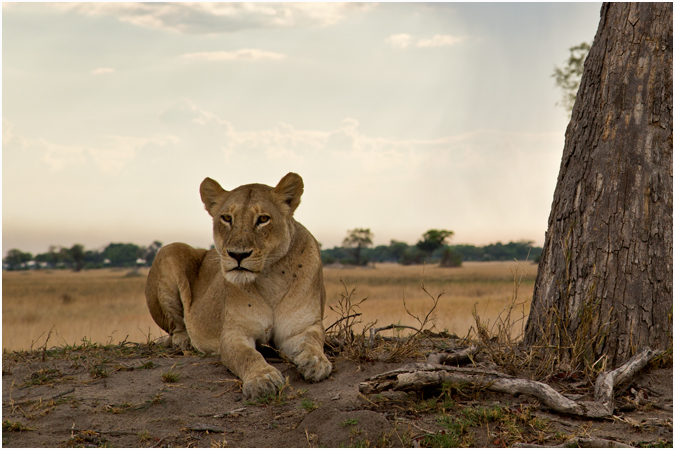 Lioness in the Afternoon